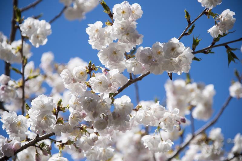 Image result for vườn hoa anh đào seattle